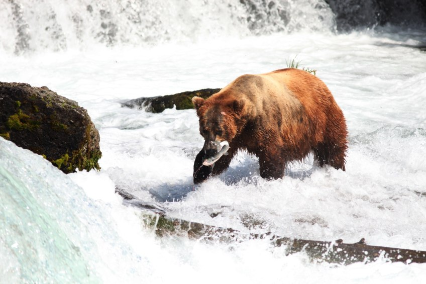 brown bear catching fish in water